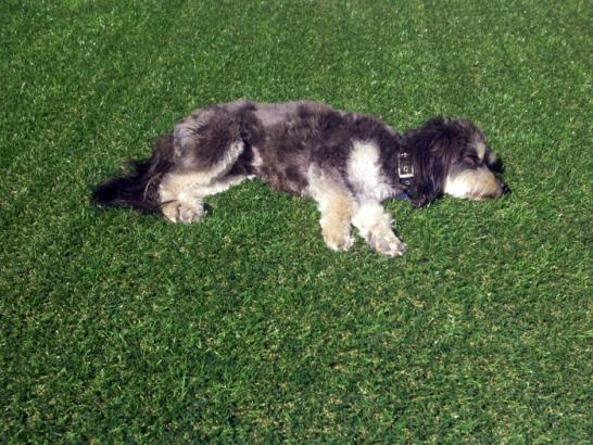 Artificial Grass Photos: Synthetic Turf Supplier Port Saint Lucie, Florida Indoor Dog Park, Dogs Park